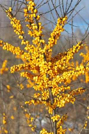 argousier: Direction g�n�rale de l'argousier avec des baies m�res en hiver.