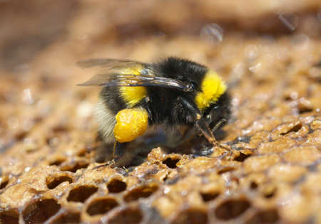 Honey bee eats honey on birch bark.