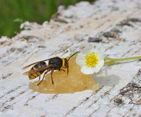 Hornet, a big wasp eating honey Stock Photo