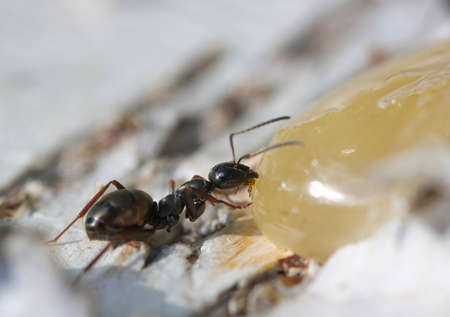 pincers: A small black ant eats honey. Stock Photo