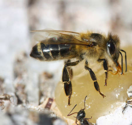 praiseworthy: Honey bee eats honey on birch bark.
