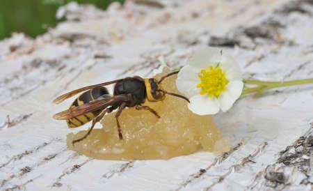 paunch: Hornet, a big wasp eating honey Stock Photo