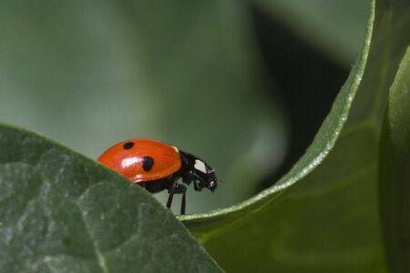 A ladybug walking on green bean leaf