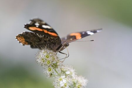 admiral: A red admiral taking off from white flower