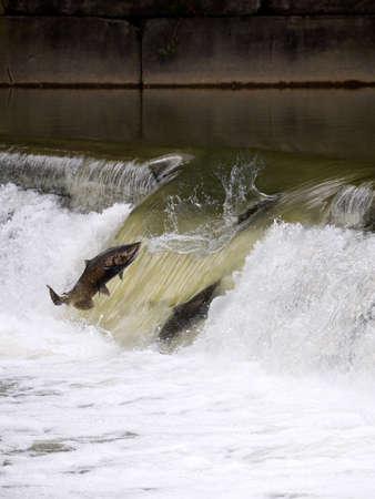 Salmon run seen in Toronto, Canada