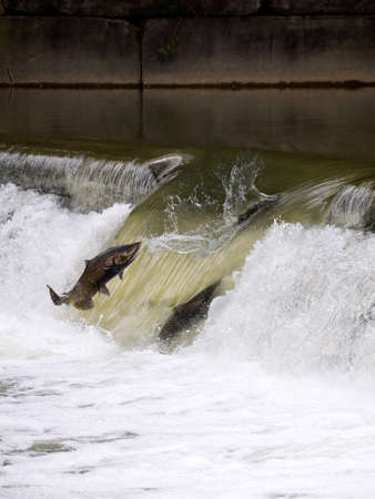 upstream: Salmon run seen in Toronto, Canada
