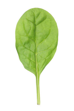 Closeup of single baby spinach leaf photo