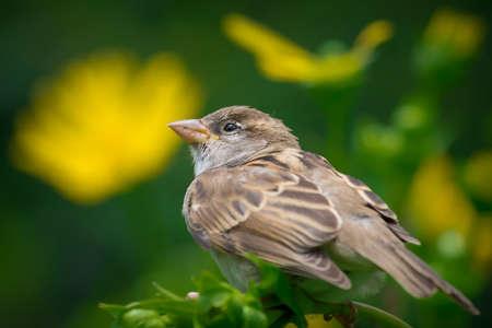 Closeup of a resting sparrow Banco de Imagens