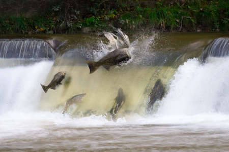 upstream: Salmon run in October