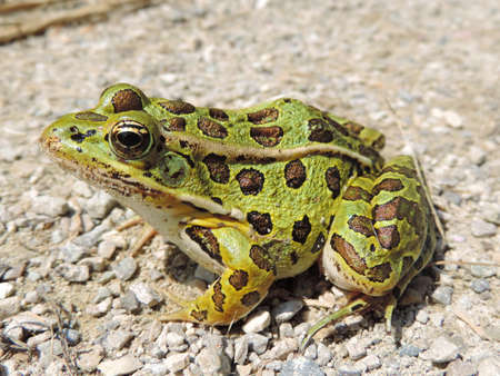 Northern leopard frog in Waterloo, Ontario, Canada. Stock Photo