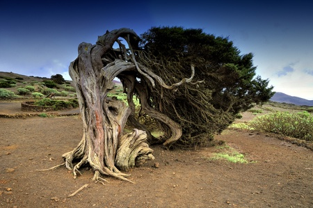 wind force: native tree twisted by the force of wind, Sabinar El Hierro Stock Photo