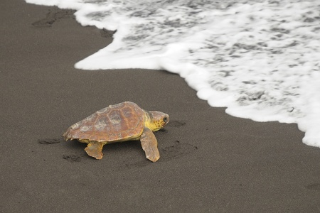 Loggerhead turtles (Caretta caretta), reaching the sea