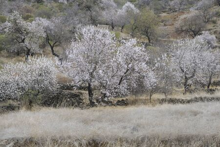 Almond tree in full blossom photo