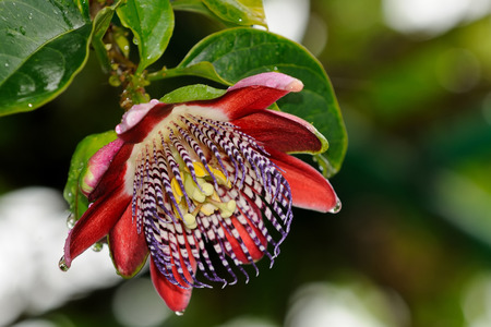 A close up of a colorful passion flower Imagens