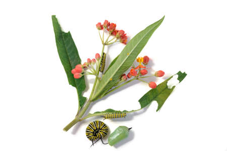 green butterfly: Monarch butterfly caterpillar, eating milkweed plant asclepia curassavica Stock Photo