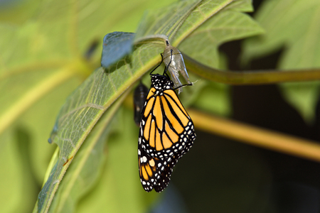 Metamorphosis of a monarch butterfly, just when leaving the chrysalis