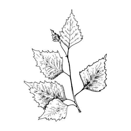 Birch sketch. Hand drawn black birch tree branch, birch leaf.