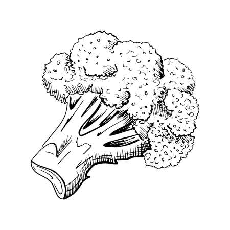 Broccoli sketch. Hand drawn vegetable broccoli, sketch style illustration, isolated on white background.