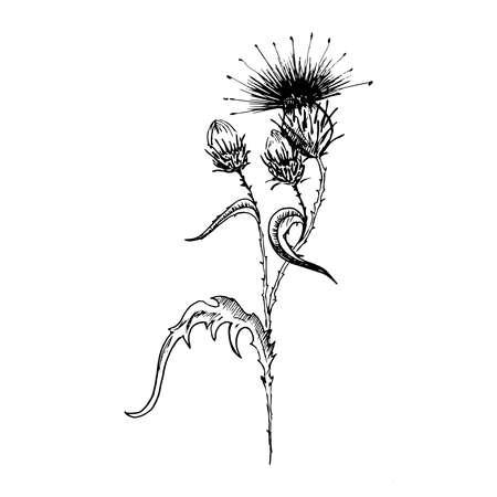 Distelblumenskizze. Handgezeichnete schwarze Blüten der Distel mit Blättern, isoliert auf weißem Hintergrund. Skizzenstil-Vektor-Illustration.