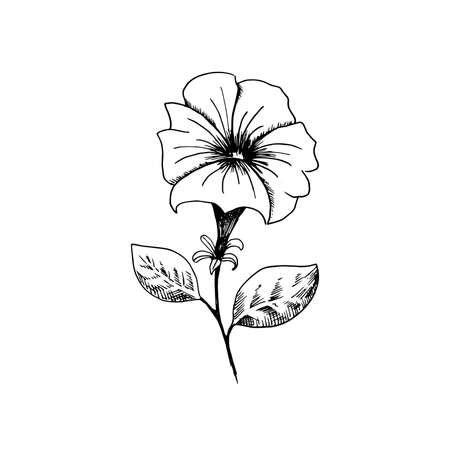 Petunia. Hand-drawn black and white sketch petunia flower. Isolated on a white background. Vector illustration. Stock Photo