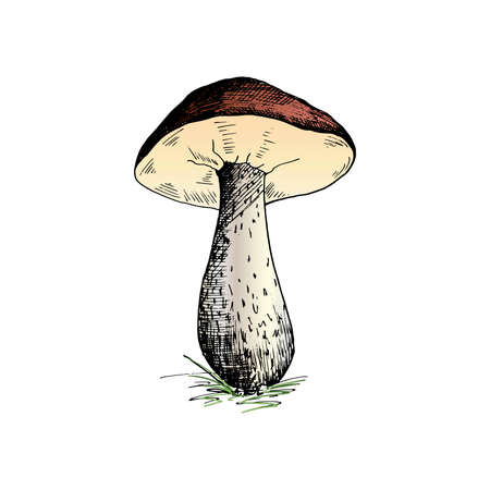 Mushroom. Hand painted sketch of a brown cap boletus mushroom. Single, isolated on a white background. Vector illustration
