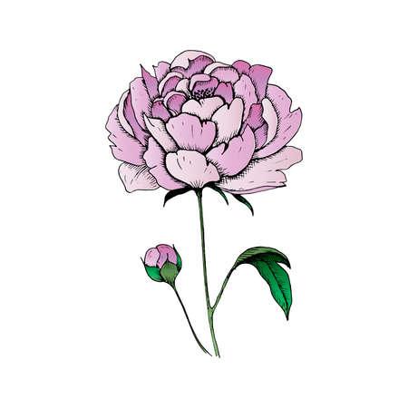 Peony. Single hand-drawn pink flower peony, isolated on white background. Vector illustration Ilustração