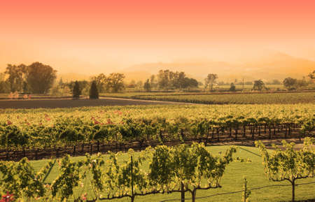 A vineyard in Napa, California. Shot taken in the afternoon and processed further for a sunset look.