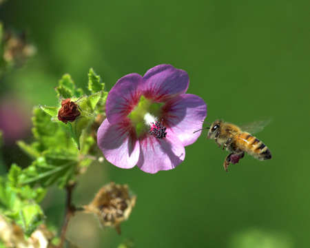 bee on flower: A bee flying close to a flower