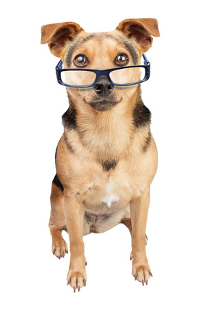 wearing spectacles: Sit fawn dog wearing spectacles isolated Stock Photo