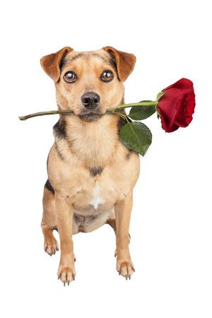 Dog holding red rose isolated Stock Photo