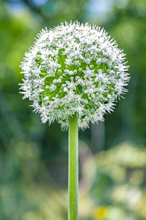 alliaceae: White flowers of garlic or Ramsons Stock Photo