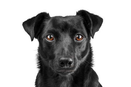 Portrait black dog isolated