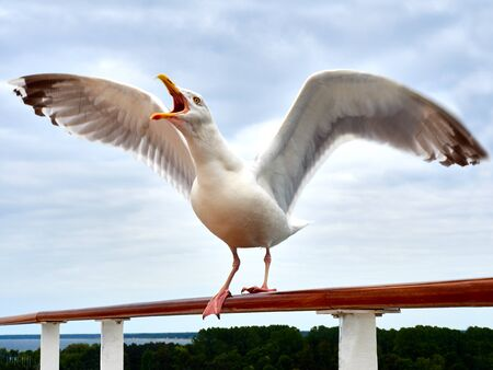 spread wings: Screaming Seagull on handrail with spread wings Stock Photo