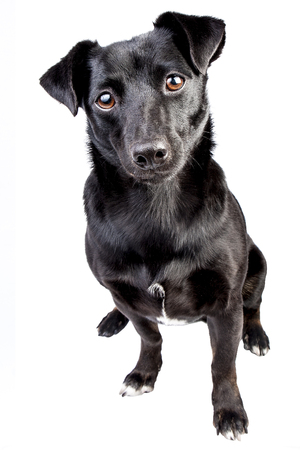 Portrait front black dog isolated