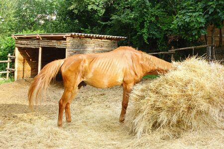 Side view of male brown horse eating straw outdoor Stock Photo