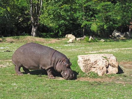 animals amphibious: hippopotamus eating grass at zoo safari Stock Photo