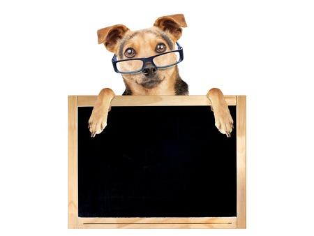 enseñanza: perro divertido que lleva los vidrios detrás de la pizarra en blanco aislado Foto de archivo