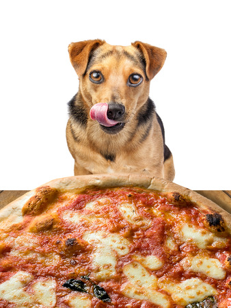 little dog looking at delicious pizza and licking his chops isolated