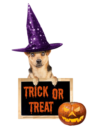 Funny Halloween dog wearing witch hat with paws on blackboard or chalkboard with trick or treat text isolated