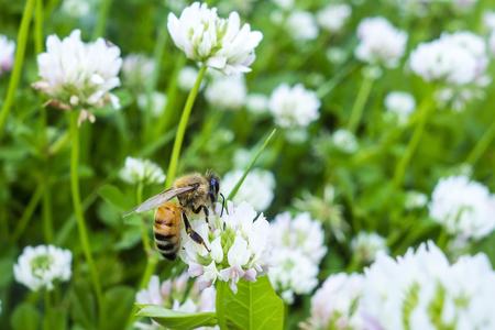 꽃가루를 수집 화이트 클로버 꽃에 직장에서 꿀벌의 근접 촬영 스톡 콘텐츠