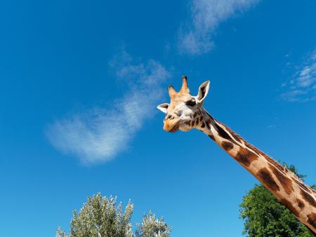frontal portrait: Looking Giraffe frontal portrait