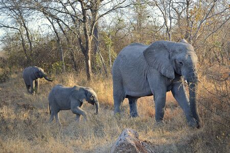 Elephant mother and their babies walking through savannah