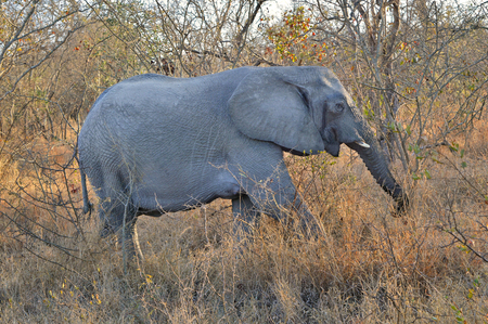 Elephant walking through savannah Stock Photo - 87815880
