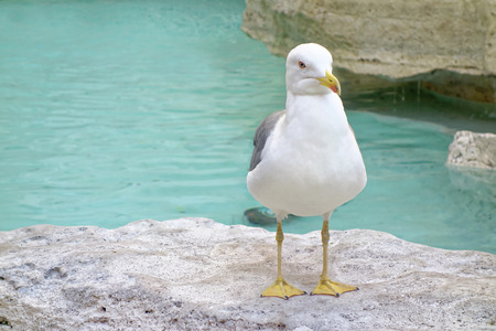 Standing Seagull at Trevi Rome Fountain
