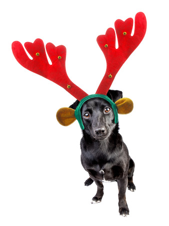 cute black little dog wearing xmas or christmas reindeer headband