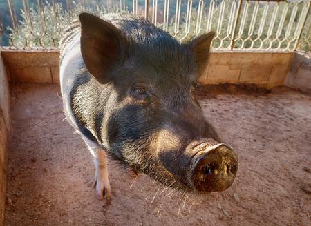 Pig cinta senese close up