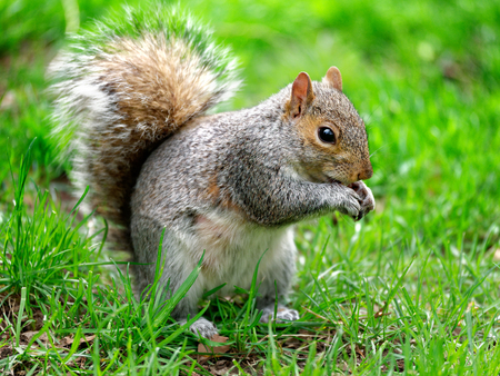 Grey squirrel eating in the park portrait
