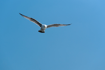 Seagull flying open wings against clear blue sky