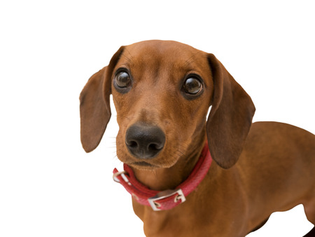 lovely dog dachshund looking closeup isolated on white,