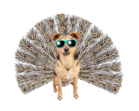 Narcissus Cool Dog with peacock or peafowl tail wearing sunglasses isolated on white